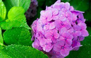 Cách giữ hoa cẩm tú cầu tươi lâu nhất có thể
