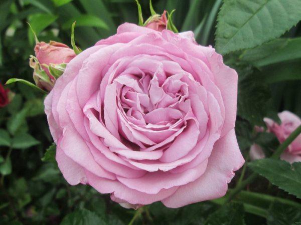 Các loại hoa hồng ngoại thơm nhất mọi thời đại!