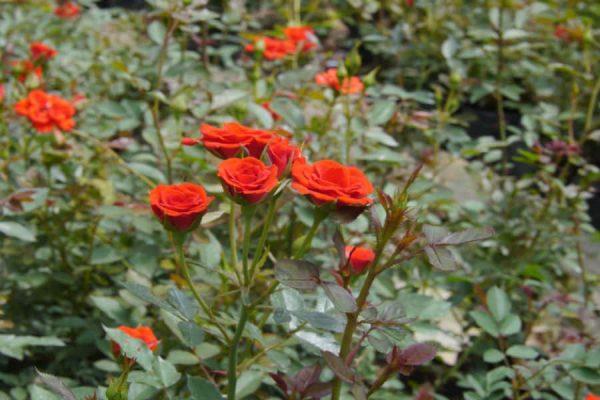 Ý nghĩa hoa hồng tỉ muội – hoa hồng đại diện cho tình thân