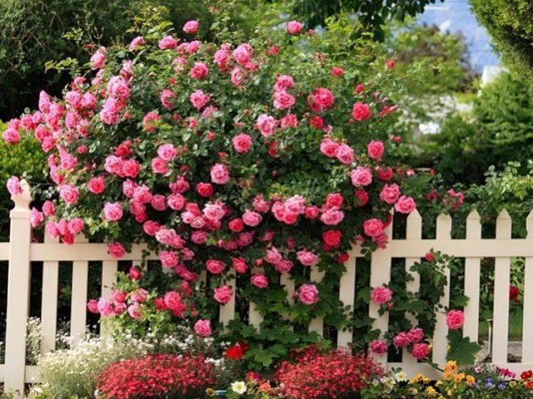 Cách hãm hoa hồng nở theo ý muốn