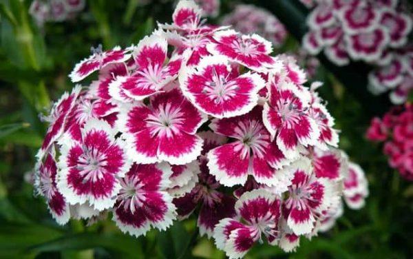 Cách phân biệt hoa phăng và hoa cẩm chướng