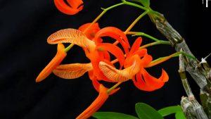 Những loài lan quý hiếm đắt đỏ được ưa chuộng nhất ở nước ta
