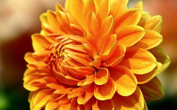 Các loại hoa màu cam cho vườn nhà thêm lung linh