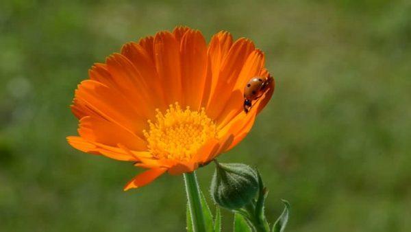 Ý nghĩa của hoa cúc tâm tư – khi tình cảm gửi vào những cánh hoa