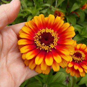 Ý nghĩa của hoa cúc ngũ sắc
