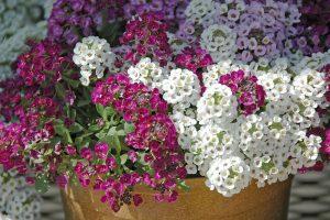 Ý nghĩa của hoa hương tuyết cầu