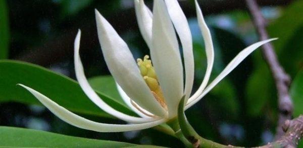 Ý nghĩa của hoa ngọc lan đẹp kiêu sa