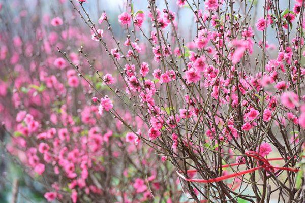 Đặc điểm và cách chăm sóc hoa đào nở theo ý muốn