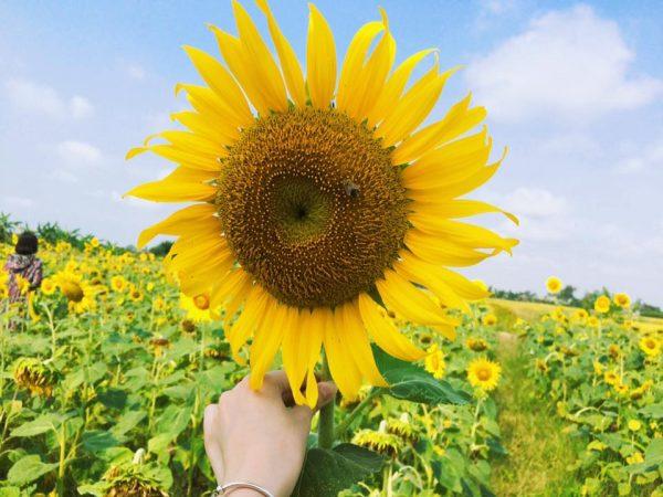 Đặc điểm và cách chăm sóc hoa hướng dương