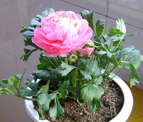 Đặc điểm và cách chăm sóc hoa mao lương