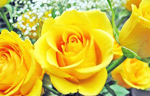 Ý nghĩa của hoa hồng vàng trong tình yêu và cuộc sống