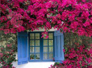 Cách trồng hoa giấy cho hoa nở đẹp quanh năm