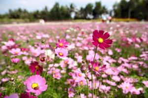 Đặc điểm và cách chăm sóc hoa mãn đình hồng