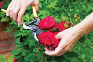 Mách bạn cách làm cho hoa hồng nở to