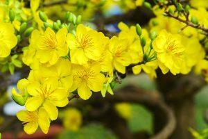 Ý nghĩa các loài hoa chưng Tết