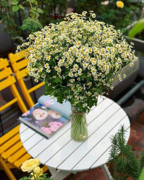 Ý nghĩa của hoa cúc tana – loài hoa dễ thương